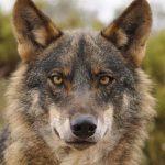 """Plan del Lobo: Criticamos la """"miopía"""" de Asaja e insistimos en que se vea como una oportunidad de desarrollo"""