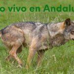 Un plan de recuperación del lobo ibérico en Andalucía
