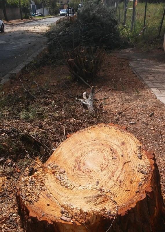 Tala de árboles en Mairena del Aljarafe